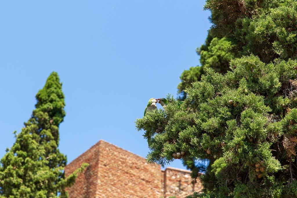 Vilda papegojor på spanska solkusten